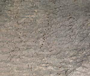 Holzwurm Gemeiner Nagekafer